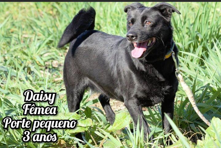 Daisy- cachorra de porte pequeno para adoção