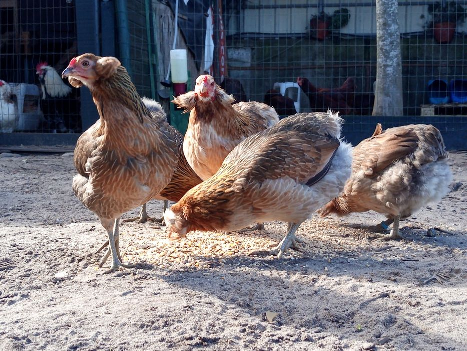 Araucana, ovos azuis galados para incubação.