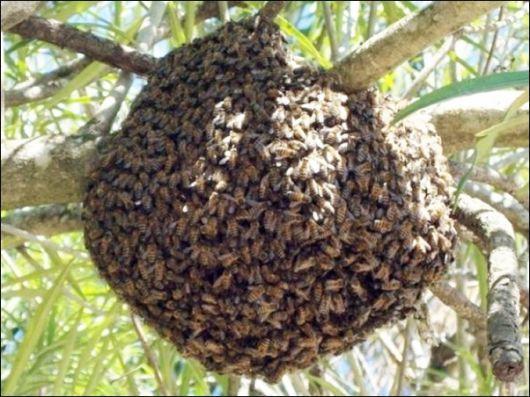 Faco recolha de exames de abelhas nas zonas de Sintra , Oeiras Cascais
