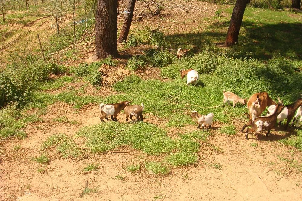 Vendo cabras anãs