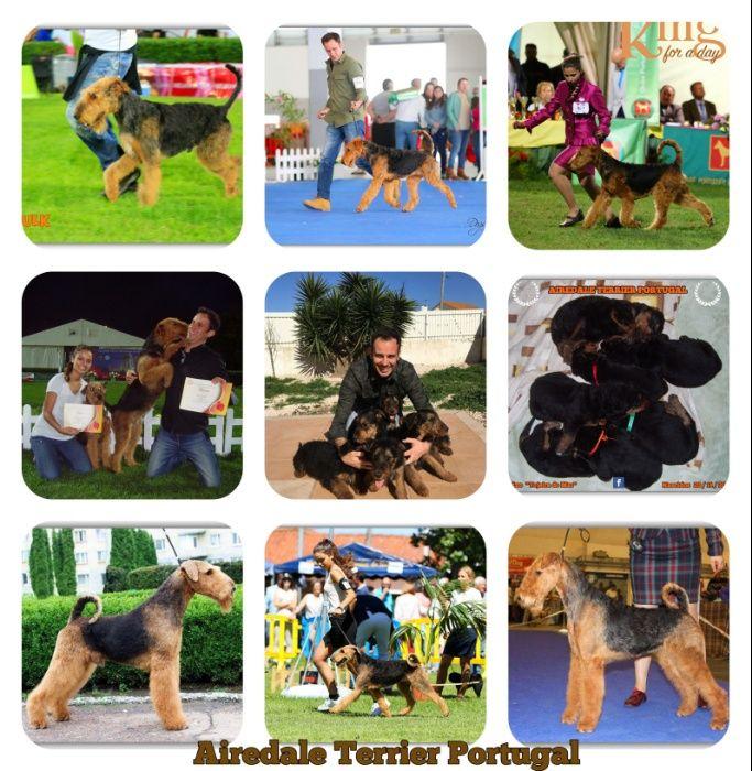 Airedale Terrier - Cachorro neto do Campeão Mundial