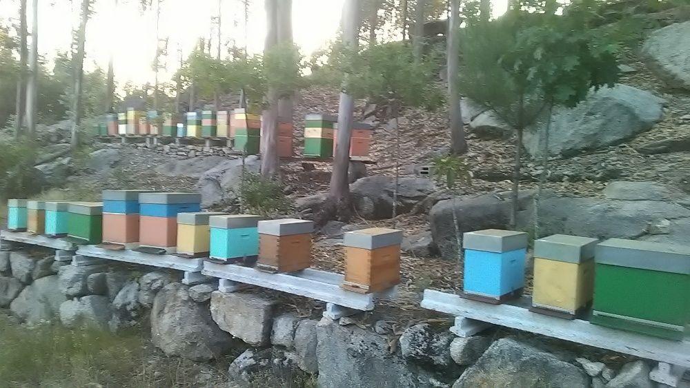 Enxames de abelhas Apis mellifera