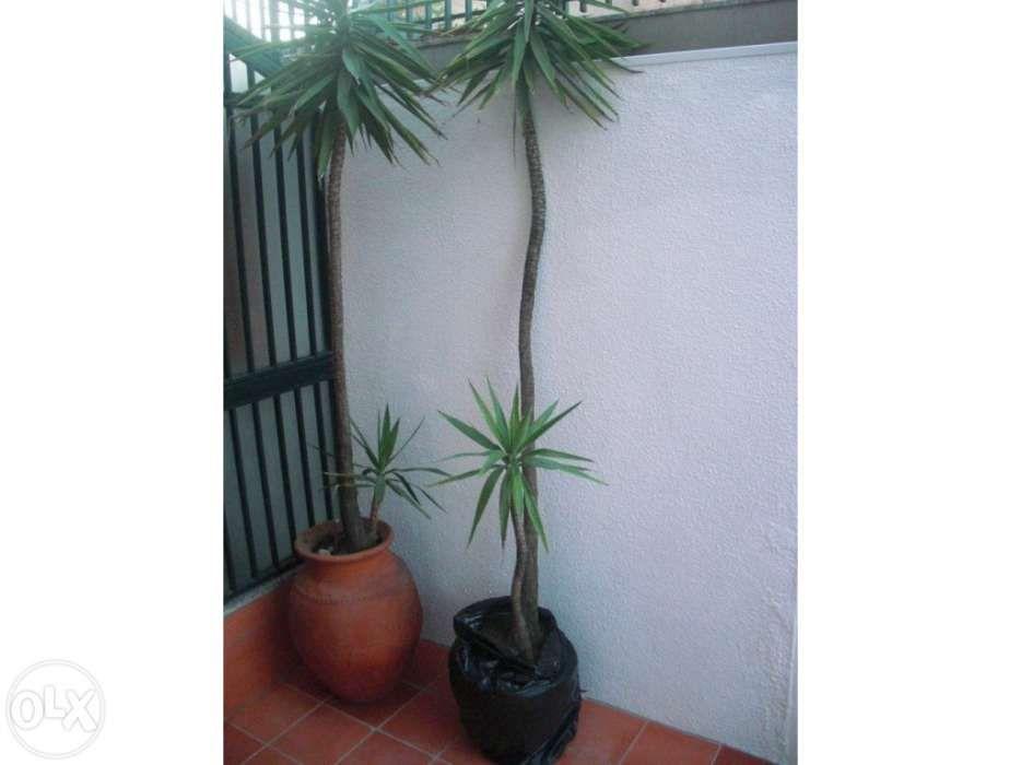 Plantas Yucas - Grandes