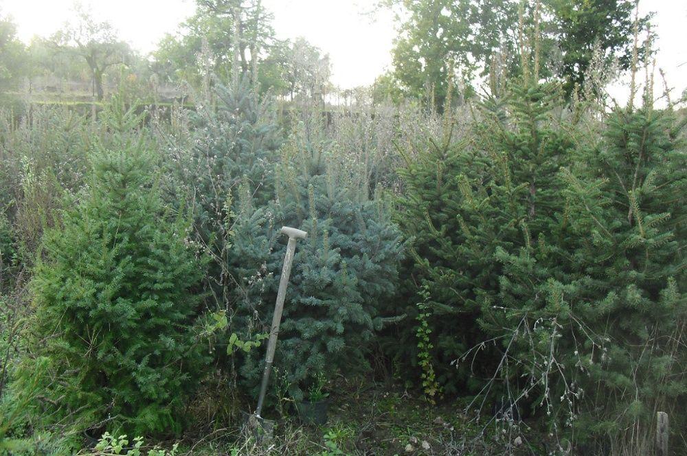 Tenho 5 pinheiros diferentes de natal ou jardim