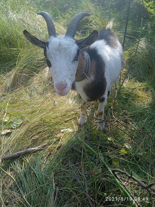 Срочно продам молодую козу
