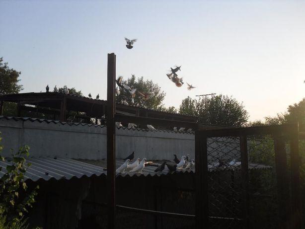 продам голубей бойных