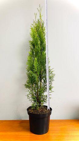 Radom Thuja smaragd 70-90 cm Tuja szmaragd Sadzonka Donica 3-5 L