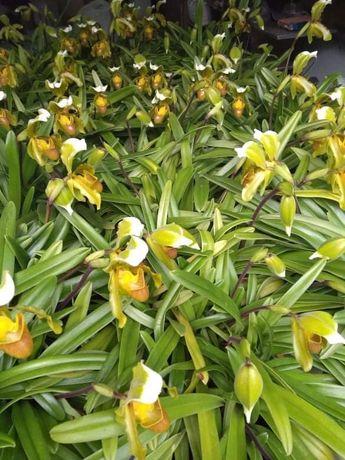 """Orquídeas """"sapatinho"""" da Madeira"""