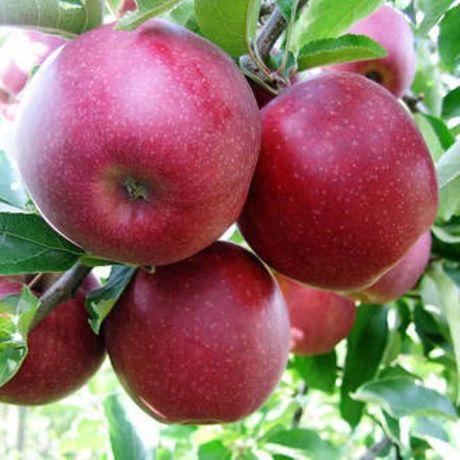 Jabłka ekologiczne z własnego sadu