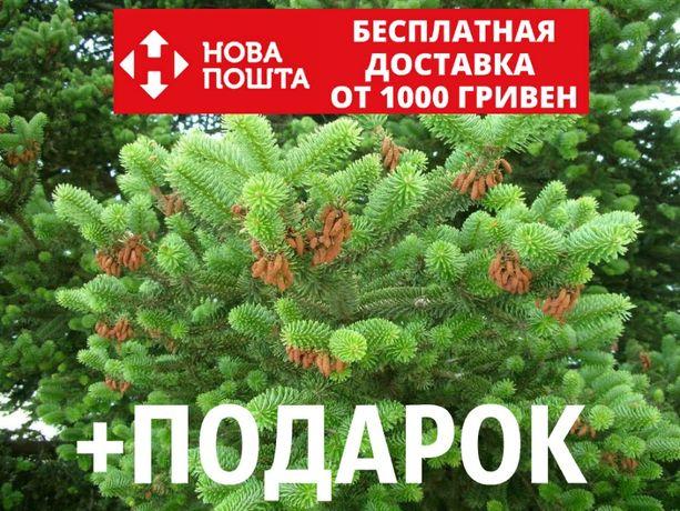 Пихта греческая семена (50 шт) пихта кефалиниийская, Ábies cephalónica