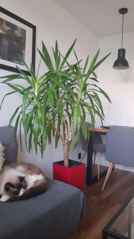 Piękna juka, duża, zadbana, zdrowa! Yukka piękny kwiat domowy