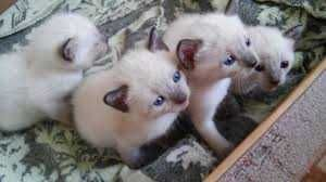Тайские котята в хорошие руки