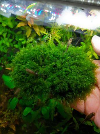 Phoenix Moss -(Fissidens fontanus)