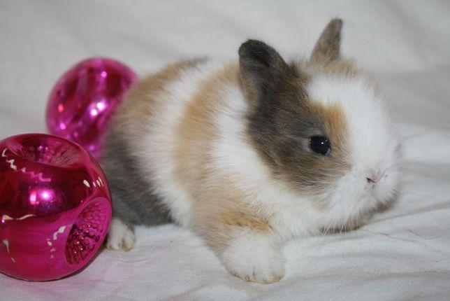 Январские кролики карликовые в продаже