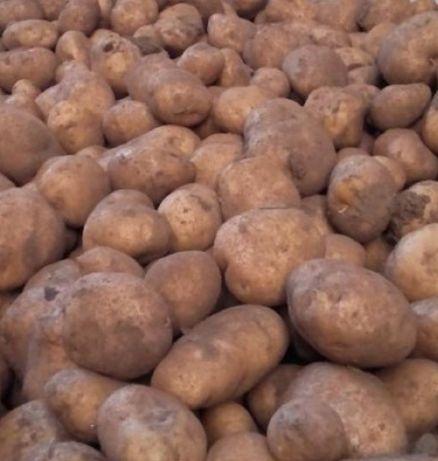 Ziemniaki Vineta Wineta na oborniku wysyłka i bezpłatny dowóz