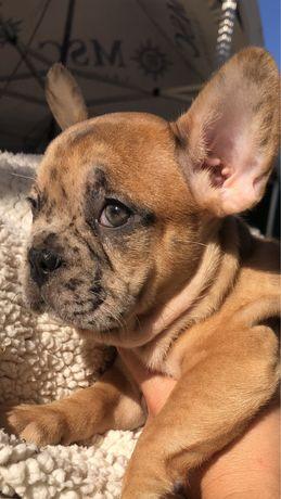 Entrega Imediata Femea Red Merle Bulldog Frances Exotico !