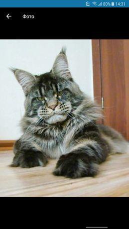 Продам котят мейн кун +яванский пепельно черный
