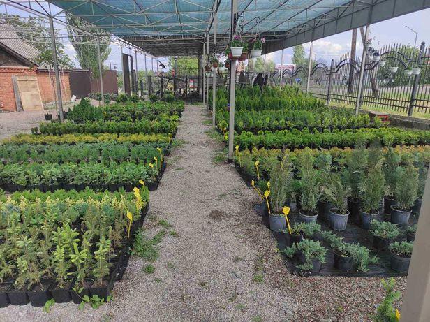 Хвойні рослини: Туя Смарагд, Даніка, Тедді, Ялівці, Кипарисовики та ін