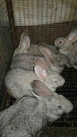 Продам кроликов породы советская шиншила