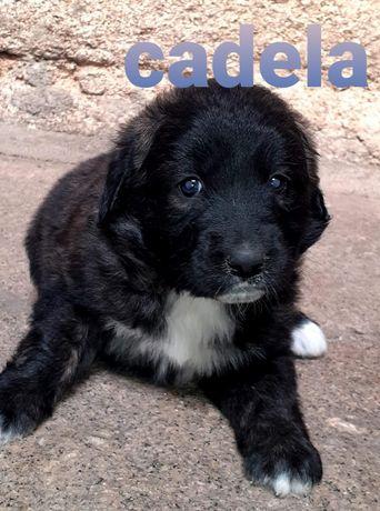 Doação de cães Serra da Estrela com Pastor Alemão