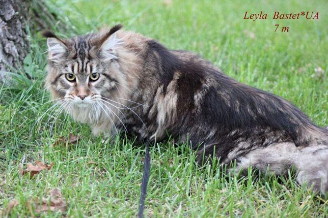 Лучшие котята породы мейн-кун. Питомник Bastetto* UA. Ирпень