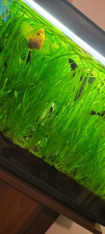 Roślinki akwariowe nurzaniec, trawa