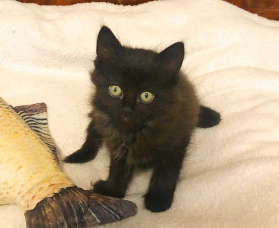 Унікальне малятко кішечка Мира. 1,5міс.  забарвлення шоколадне