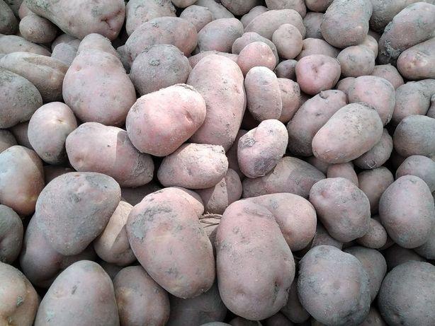 Ziemniaki bellarosa powyżej 200kg 50gr/kg