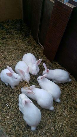 Кролики породы Белый панон