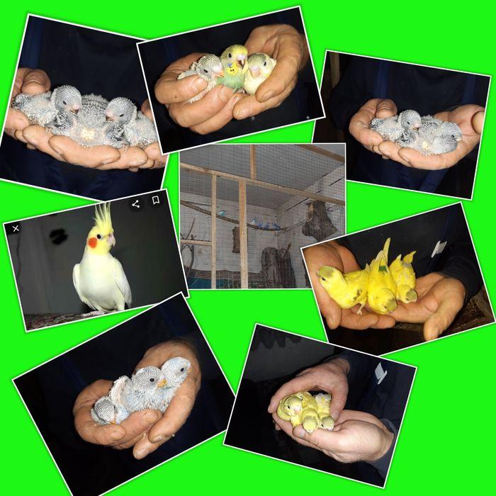 Молоді папуги хвилясті і корели Квасилов - изображение 1