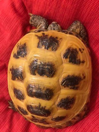 Продам серднеазиатскую черепаху