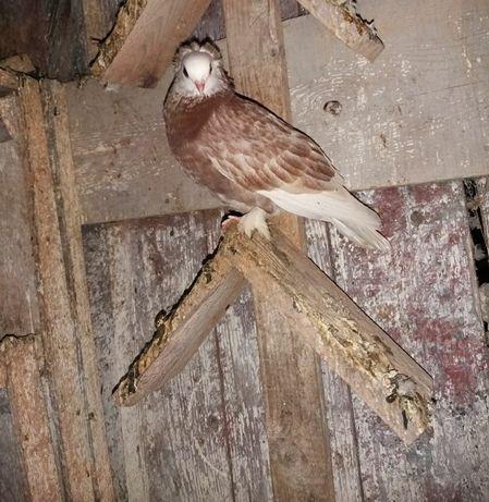 Białogłówka wajskop łych krakowiak gołębie ozdobne
