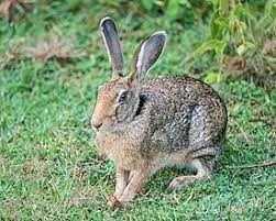 Продам   зайців.