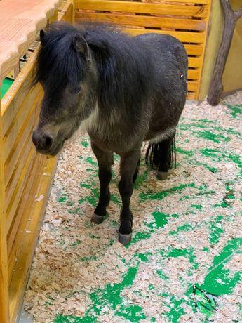 Продам  шотландского пони