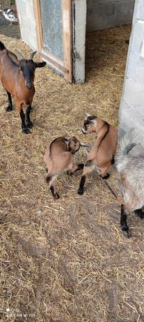 Cabras anãs dois machos