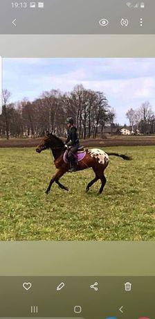 Dzierżawa koni jazda konna