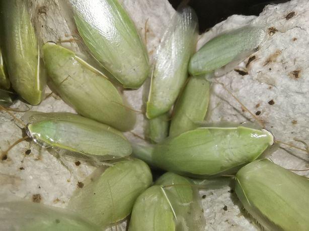 Panchlora nivea, karaczan zielony, karaczany bananowe. + Gtarisy!!!