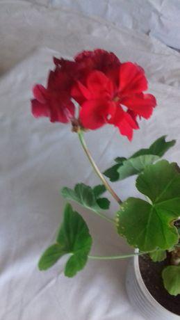 Продам молодую пеларгонию (герань)