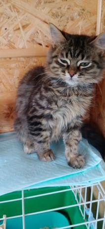котенок Барсик