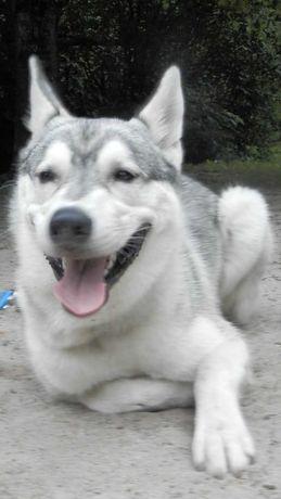 Siberian Husky - 9 miesięcy