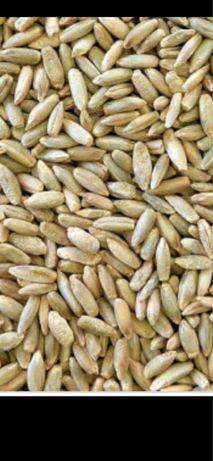 Продам жито на посев сорт Хамарка