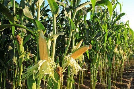 Sprzedam kukurydzę na kiszonkę 7,5ha