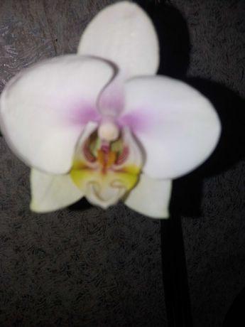 Орхидея только начала цвести