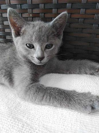 Kocięta, kotki rosyjskie  miot B