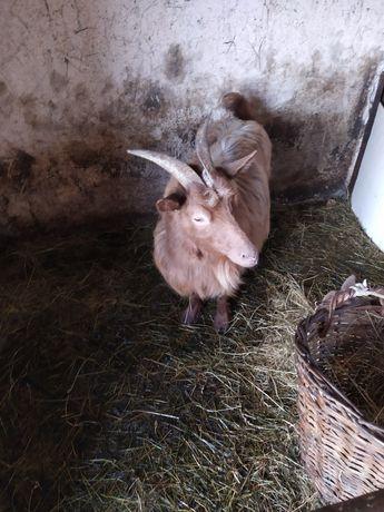 Продам козу із козичкою не дорого