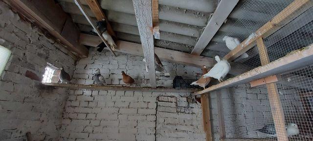 Gołębie różne (mokołajki, szariki, fajfry, wystawowe niemieckie)