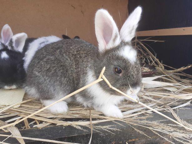 króliki młode hodowlane