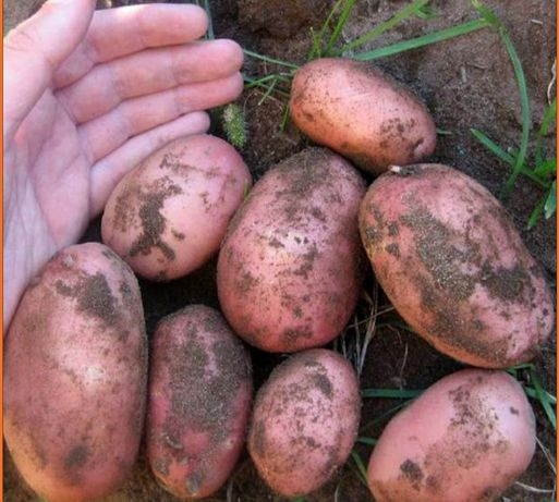 Продаётся картошка белароса
