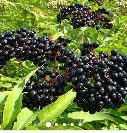 Саджанці бузини чорної,войлочної вишні/ саженцы бузины,китайской вишни