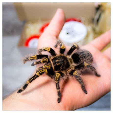 Арагог бокс подарок-набор паук птицеед(павук, тарантул) брахипельма